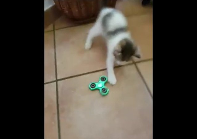 My cat is playing with fidget spinner😁😸