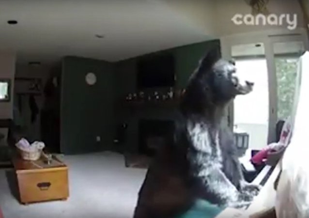 Bear Breaks Into Colorado Home, Plays Piano