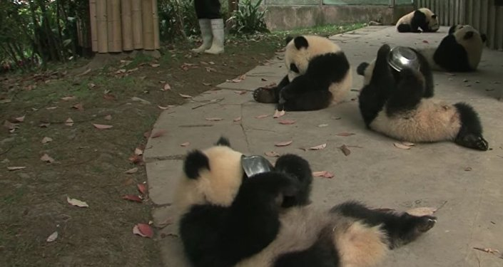 Panda cubs drink milk