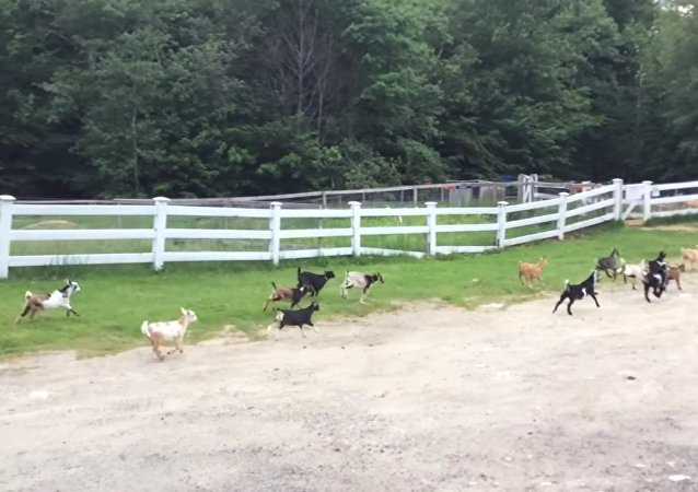 Baby Goats Born to Run
