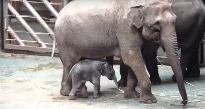 Baby Elephant Born in the Moscow Zoo