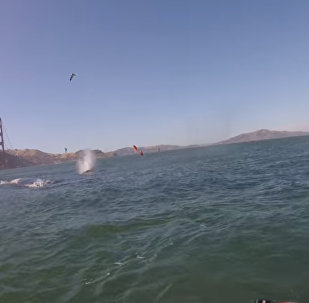 Windsurfers Encounter Humpback Whales in San Fran