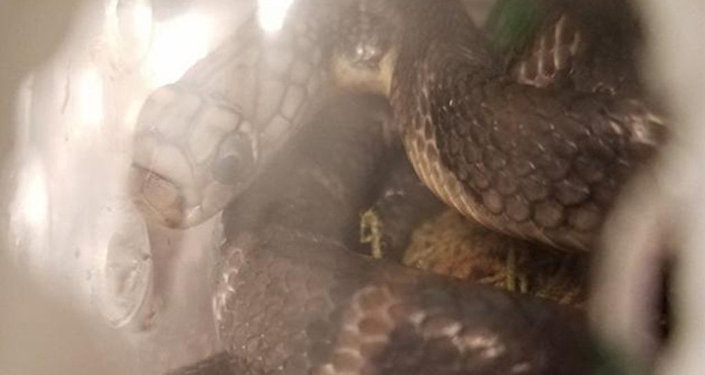 Snakes seized at JFK airport by US Customs and Border Protection.