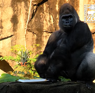 Jomo The Gorilla Celebrates His 26th Birthday