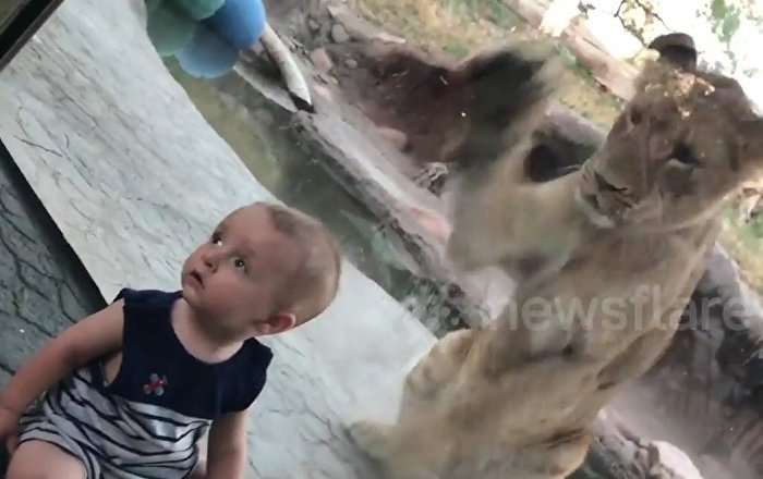 Baby oblivious to lion attacking at zoo