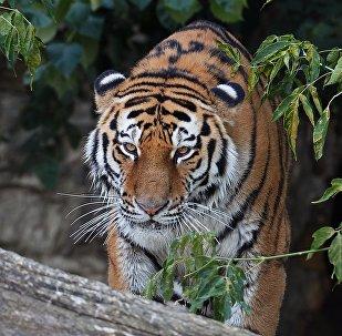 Siberian tiger called Umar at Moscow Zoo. (File)