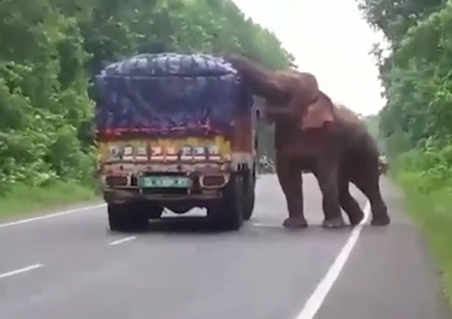 Elephant Stops And Eats Potatoes From Truck On Road