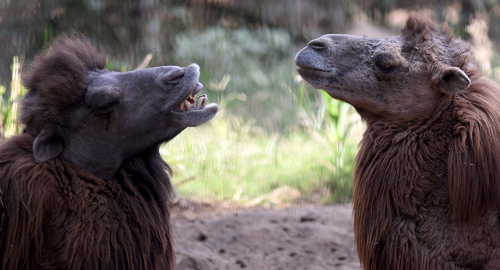Bactrian camels. (File)