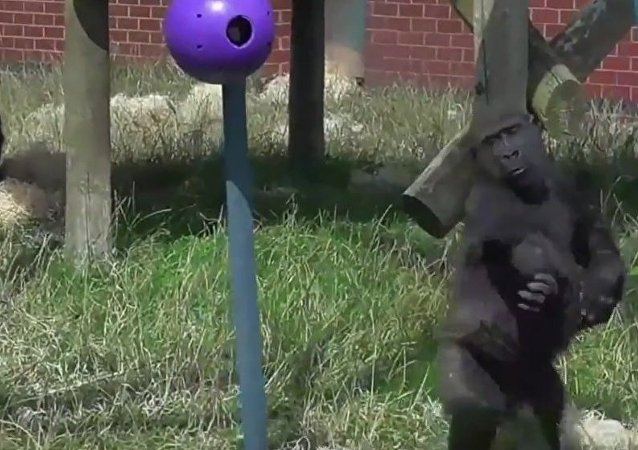 These Gorillas Got The Moves