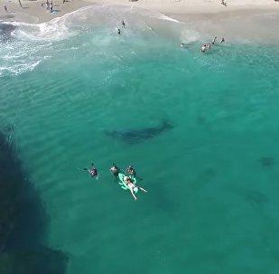 Lost gray whale in Laguna Beach 8/8/17