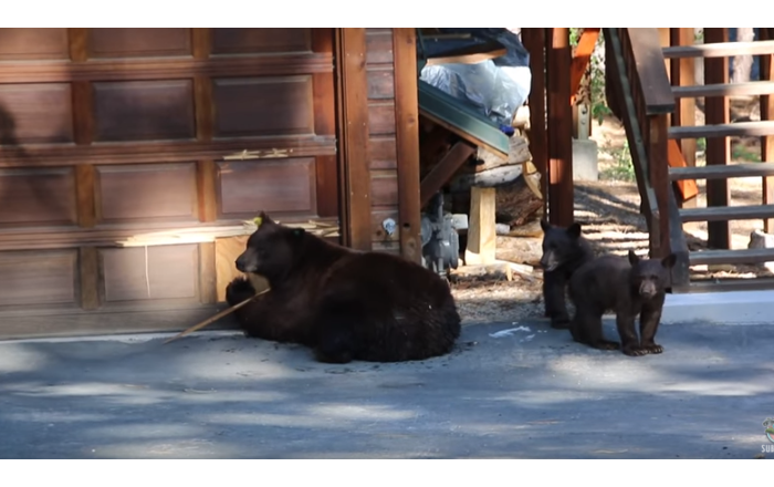 You're Flat! High-Brow Bears Flee from Violin
