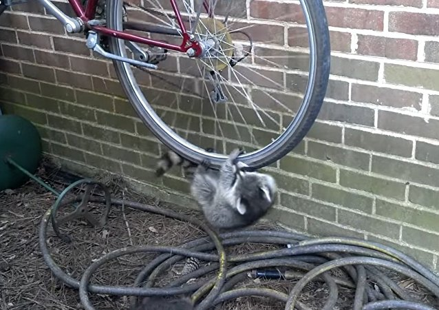 Raccoons hanging off bike