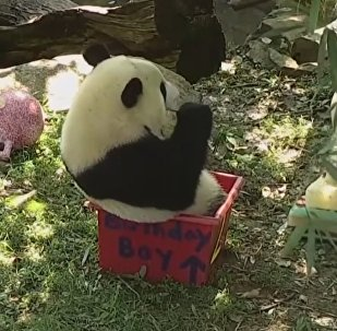 Panda Bei-Bei Celebrates Its Birthday