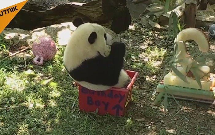 Panda Bei-Bei Celebrates Its Birthday