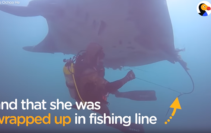 A Friend in Need: Diver Rescues Manta Ray