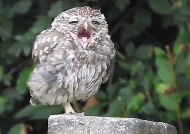 Adorable Sleepy Baby Owl Yawning