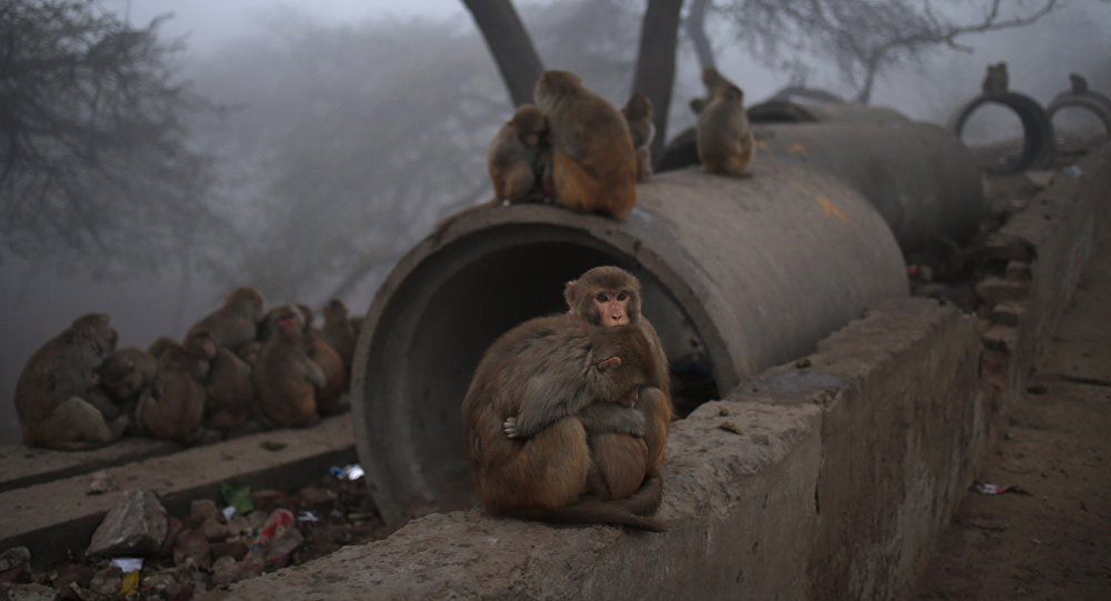 Monkeys on the side of a road in New Delhi, India. (File)