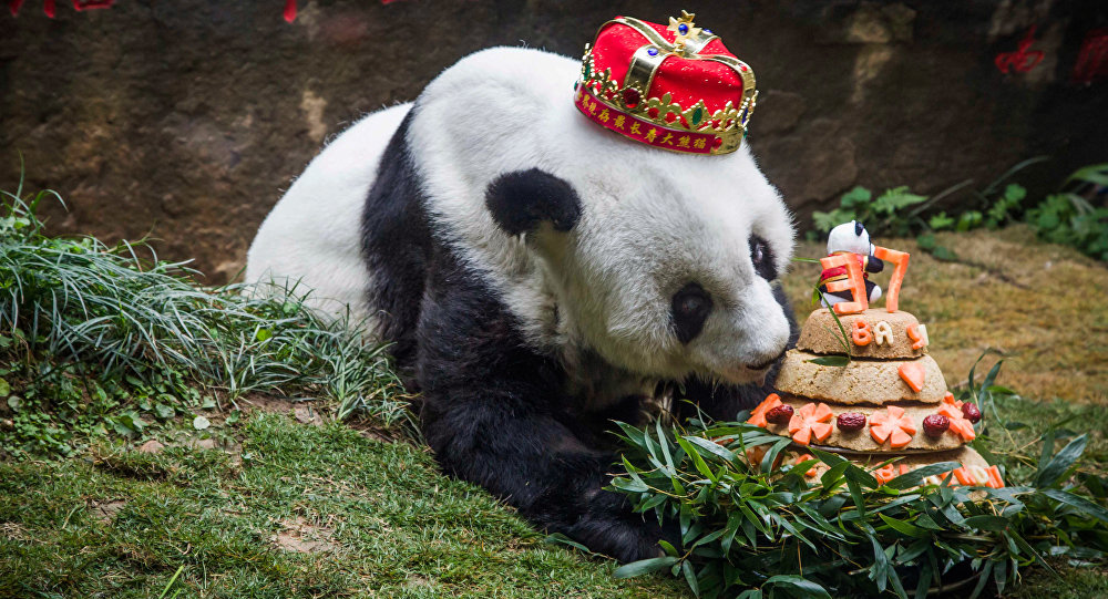Giant panda 'Basi' sniffing a birthday cake prepared by her keepers at Fuzhou Panda World in Fuzhou, east China's Fujian province. (File)