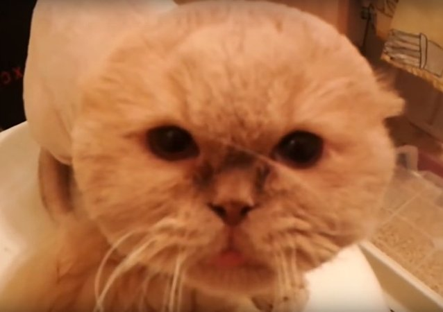 Unhappy Cat Can't Handle His Bad Salon Experience