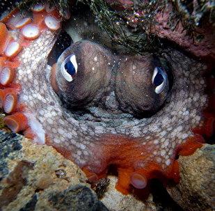 Gloomy Octopus-Octopus tetricus