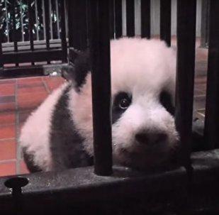 Panda Born In Japan Was Given The Name Xiang-Xiang Aroma