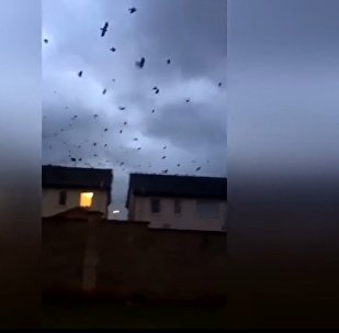 Huge flock moves inland as Ophelia hits Ireland