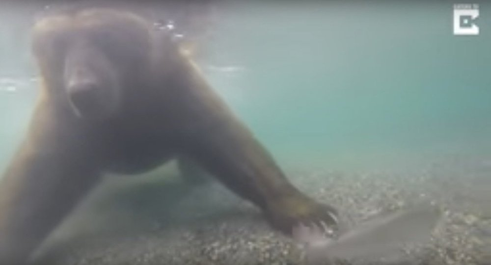 Bear Fishes Underwater With Paws