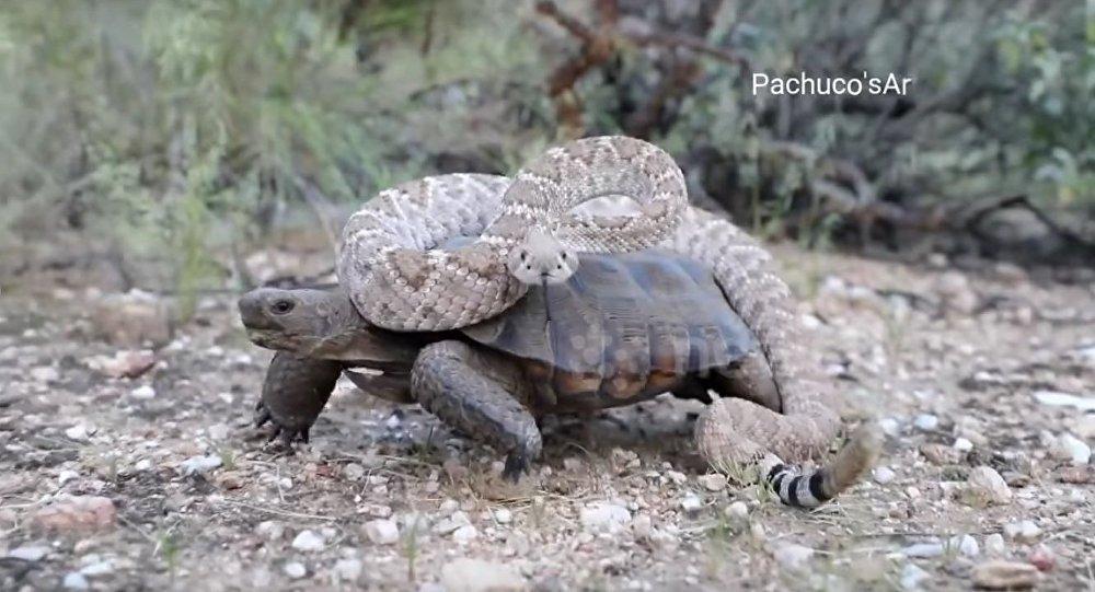 Desert tortoise takes a Rattlesnake for a wild ride!