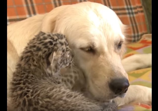 Good Kitty! Retriever Adopts a Leopard