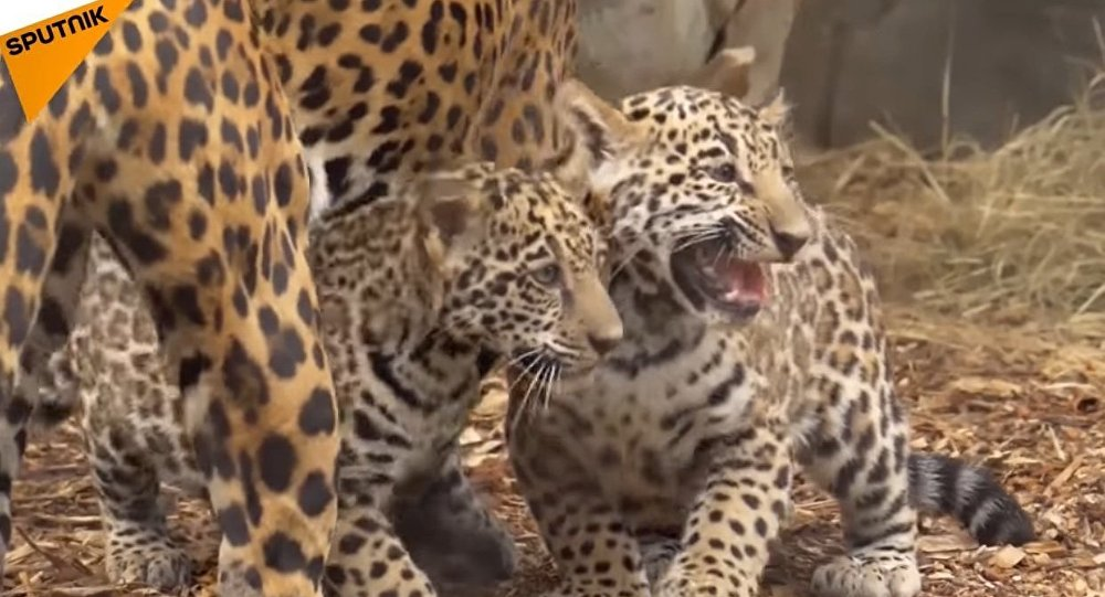 The Young Jaguars Born in the Houston Zoo