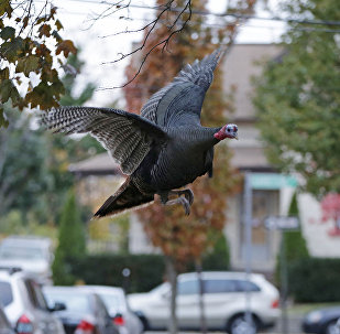 A wild turkey flies up to it's nightly roost (File)