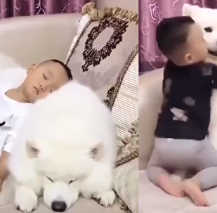 Best Buds: Samoyed and Little Boy Inseparable