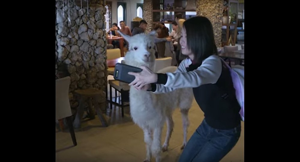 Alpaca Cafe in New Taipei