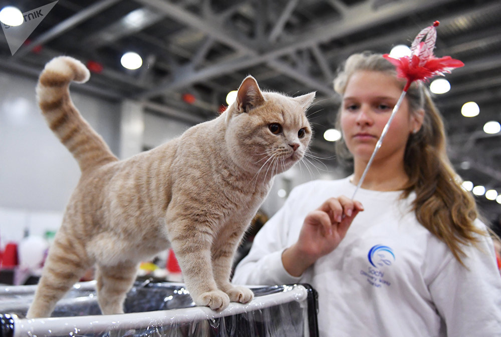 A British Shorthair cat at the 2017 Royal Canin Grand Prix international show in Moscow