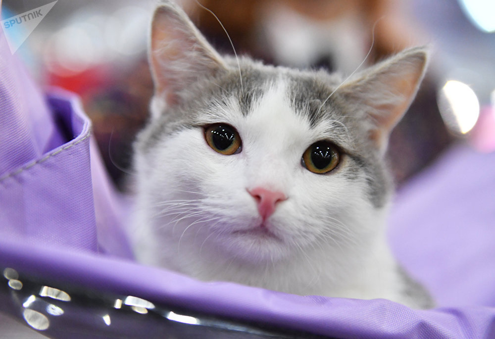 A munchkin cat at the 2017 Royal Canin Grand Prix international show in Moscow