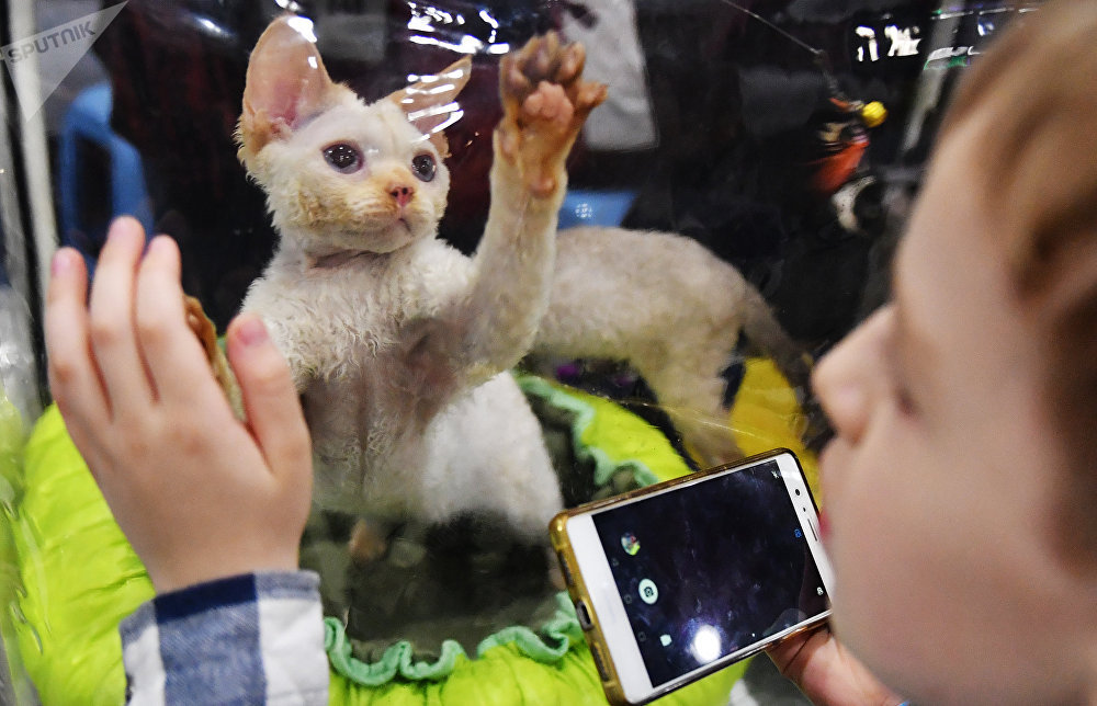 A Devon Rex cat at the 2017 Royal Canin Grand Prix international show in Moscow