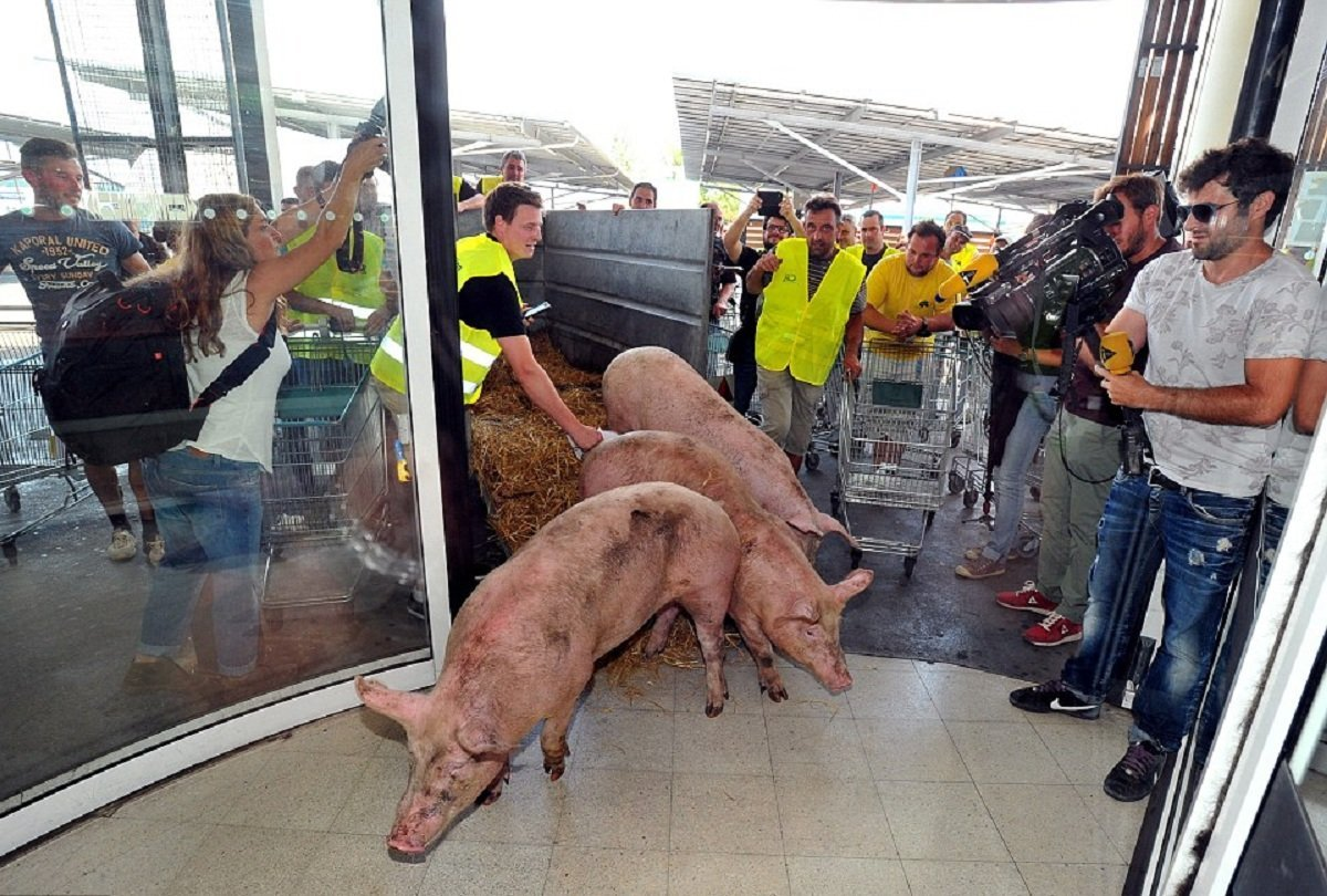 Live pigs are dumped in supermarkets as protesting French farmers cause more chaos