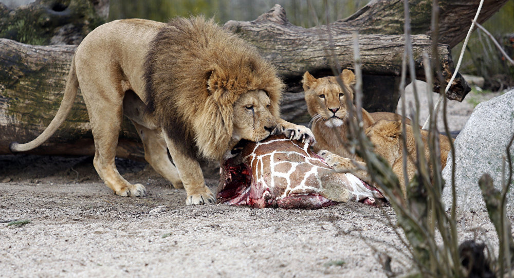 This is a Sunday, Feb. 9, 2014 file photo of the carcass of Marius, a male giraffe, as it is eaten by lions after he was put down in Copenhagen Zoo