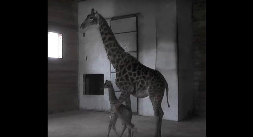A Giraffe Has Been Born at the Crimean Safari Park