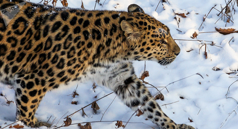 Far Eastern female leopard Rona at Primorye safari park