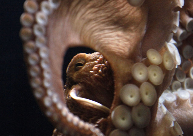 Giant Pacific octopus (File)