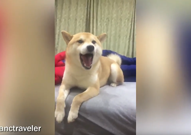 Pup's Got Talent! Shiba Inu Makes Perfect Backup Singer