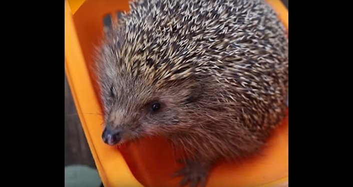 Wildlife Hospital Puts Fat Hedgehog on Diet