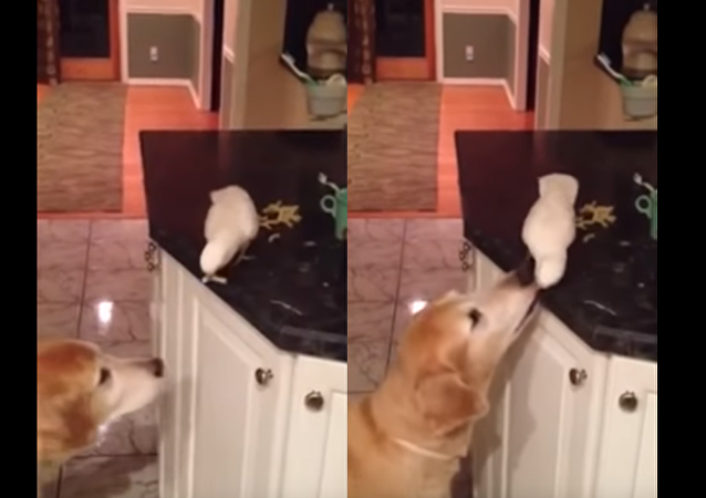 A Friend in Need: Golden Retriever Fed by Feathered Friend