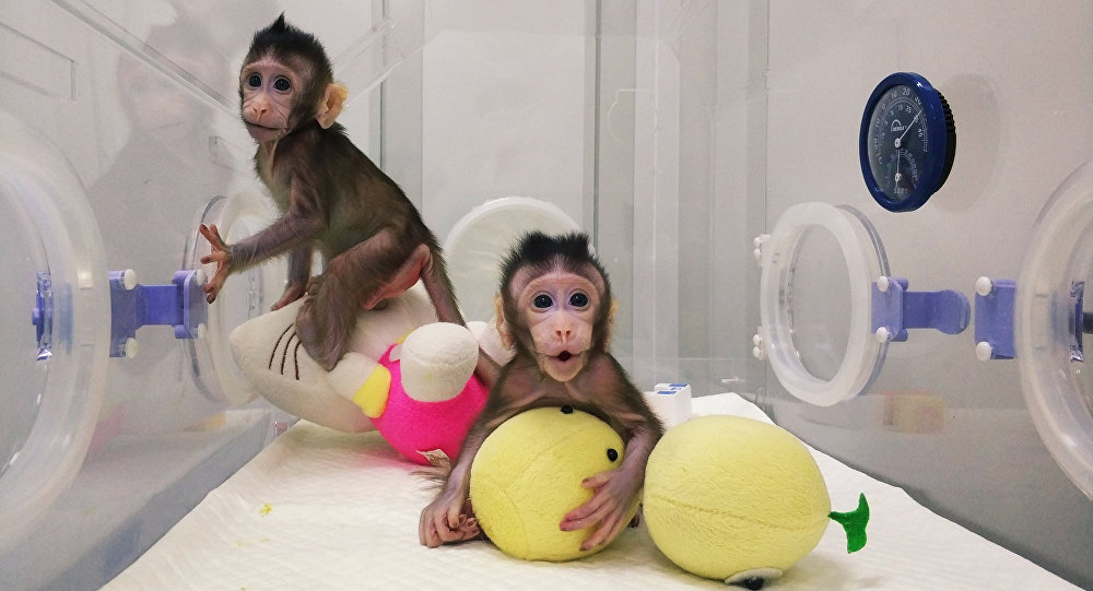 Cloned monkeys Zhong Zhong and Hua Hua are seen at the non-human primate facility at the Chinese Academy of Sciences in Shanghai, China January 20, 2018, in this handout picture provided by the Institute of Neuroscience of the Chinese Academy of Sciences
