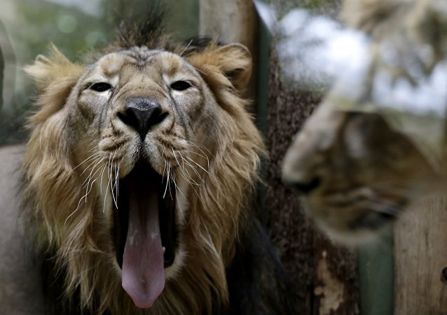 Lions at the zoo. (File)