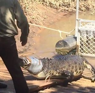 Big croc snared in Northern Territory tourist mecca, see how they did it