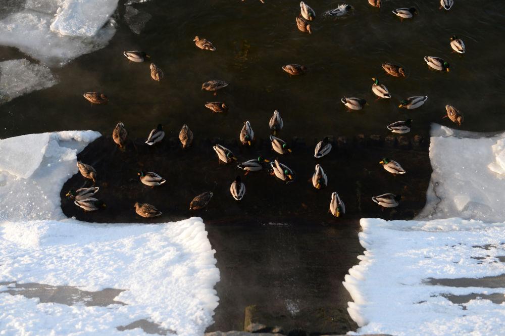 Ducks on the Savvinskaya embankment of the Moscow River.