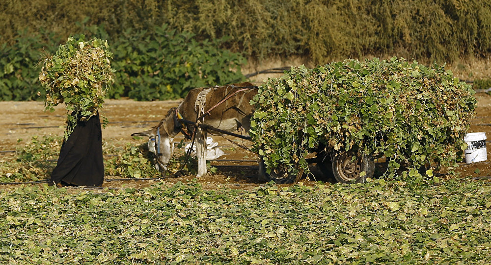 A Palestinian farmer weeds a field in Gaza City (File)