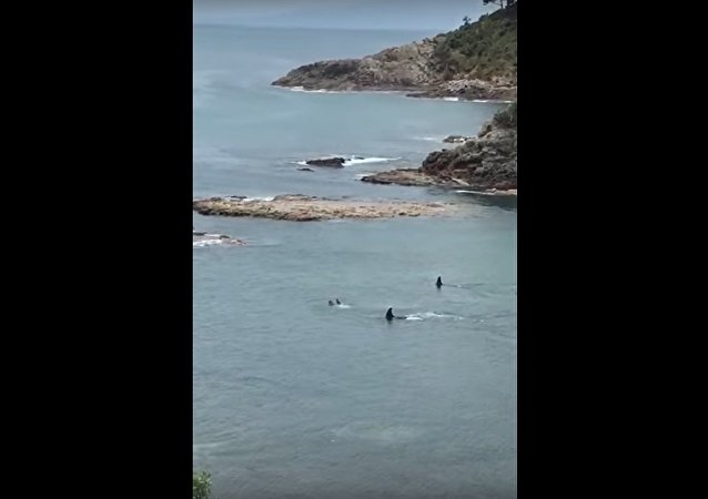 Two Orcas vs two kids swimming